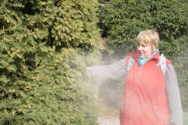 Remembering shaking the clouds of pollen from it back in March.