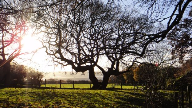 And sideways at another winter tree, three weeks ago in November.