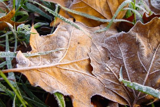 Frosty leaves in Sefton Park.
