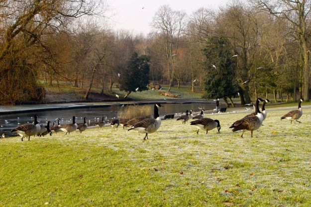 Back in Greenbank the Canada Geese are all out of the water.