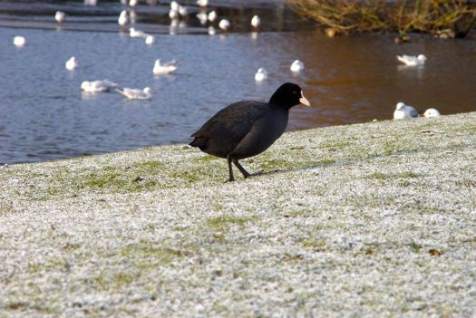 A coot meanders by.