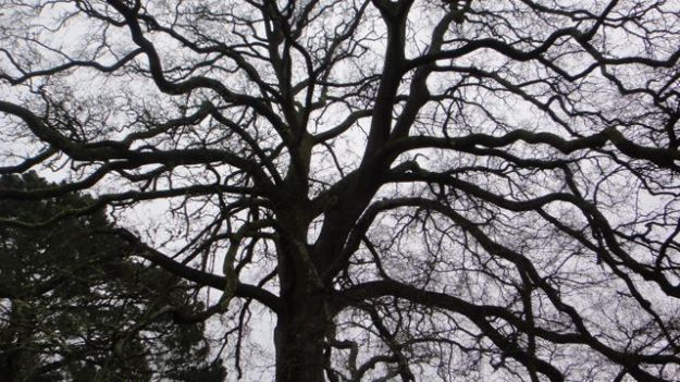 Walk round the side of the buildings and pass another of Dartington's ancient trees - this is a turkey oak.