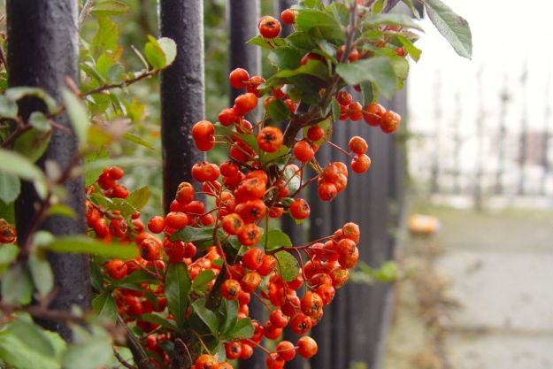 Passing some pyrocanthra, 'fire-thorn' - often the last berry around as winter bites, says Sarah.