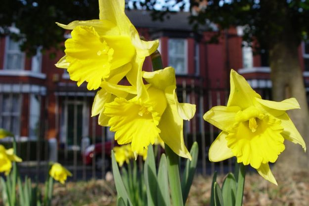 Facing south in Greenbank Park, the daffodils are out. Very welcome, but the first week in January?