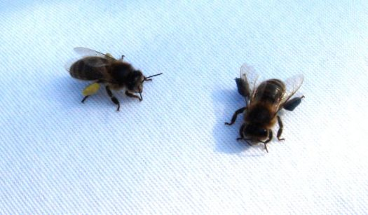 Here's two honeybees sitting on the shoulder of someone.