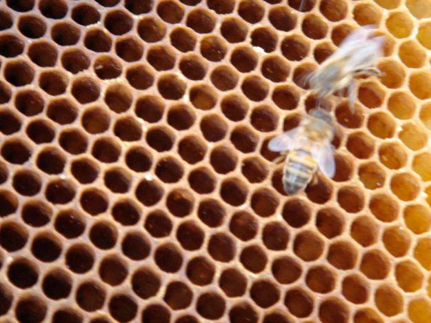 The lovely honeybee.