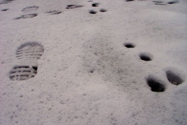 We're not alone though. We see fox tracks and this rabbit track.