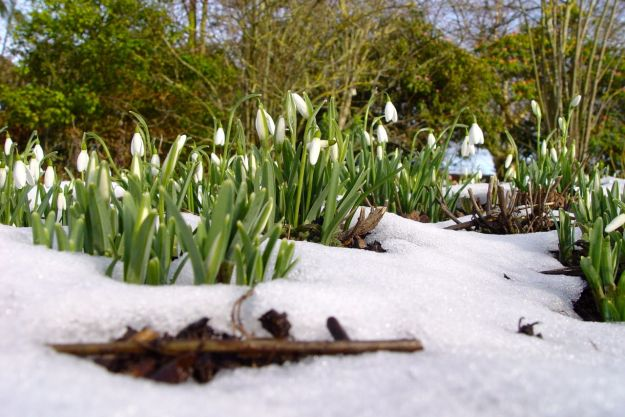 Snowdrops in the snow. Galanthus 'Magnet'