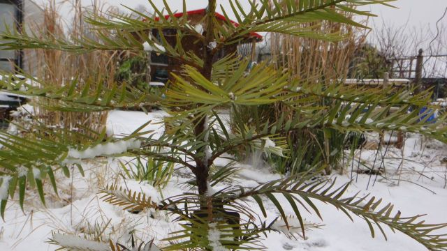 Rachel's Wollemi Pine experiencing its first snow. Seems fine.