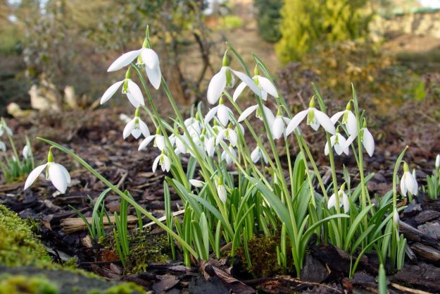 Signs of Spring. Snowdrops in Ness Botanic Gardens.
