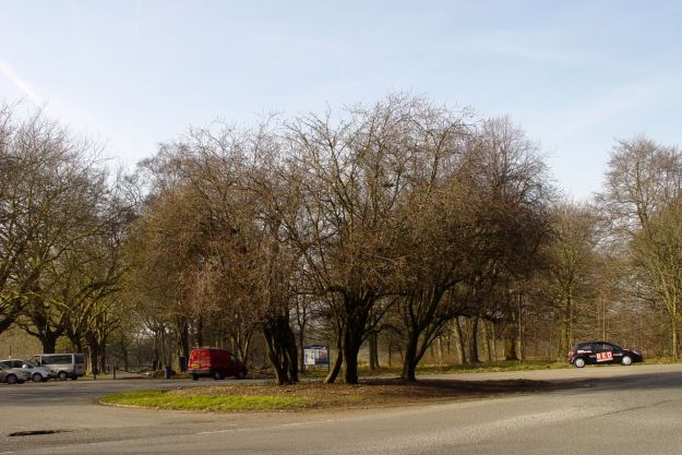 A little group of ornamental cherry trees.