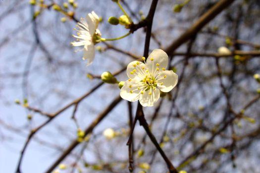 Blossoms beginning in Sefton Park.