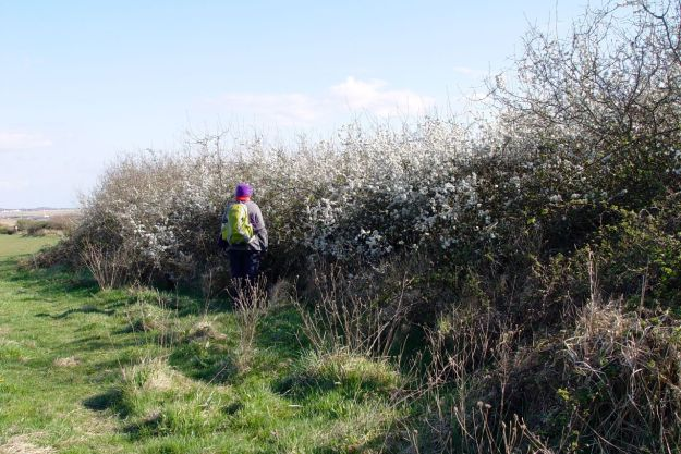 And down by the Estuary, fully flowering Blackthorn.