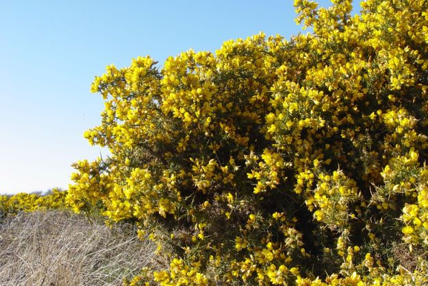 The Maybush, Gorse.