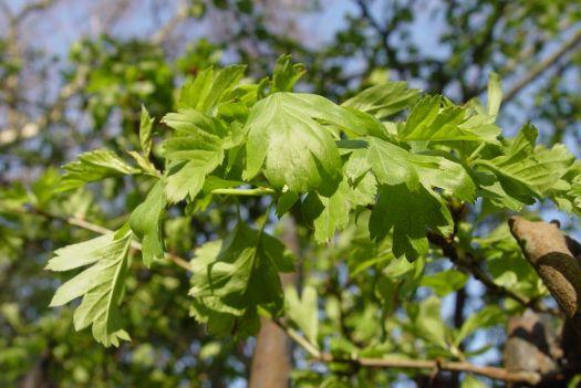 Spring-green hawthorn leaves.