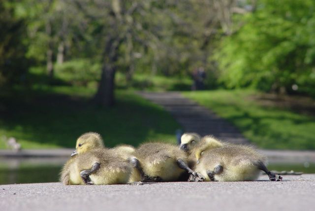 Four tiny goslings.