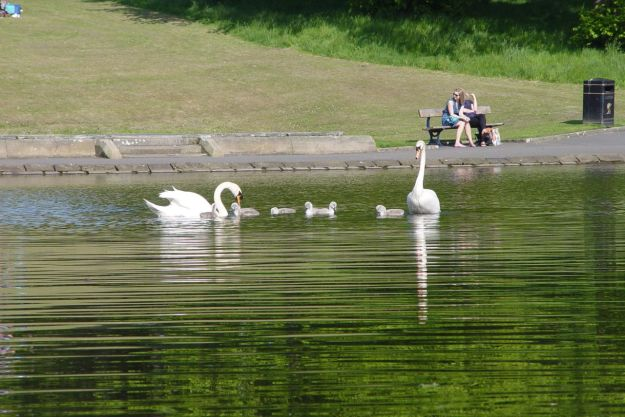 So the swans and their cygnets are safe out in the middle of the lake.