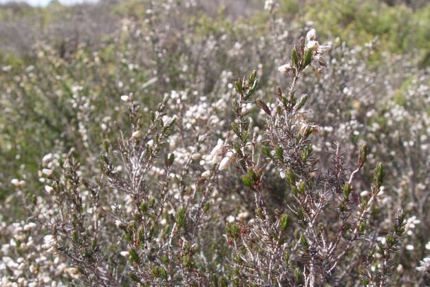 The heather is flowering.