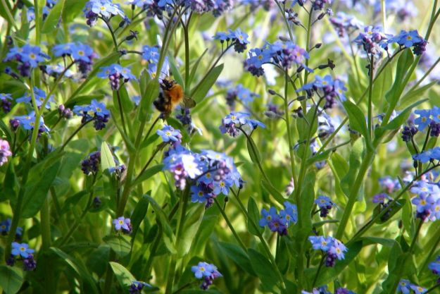 As evening falls, a bumble bee in the Forget me Nots.
