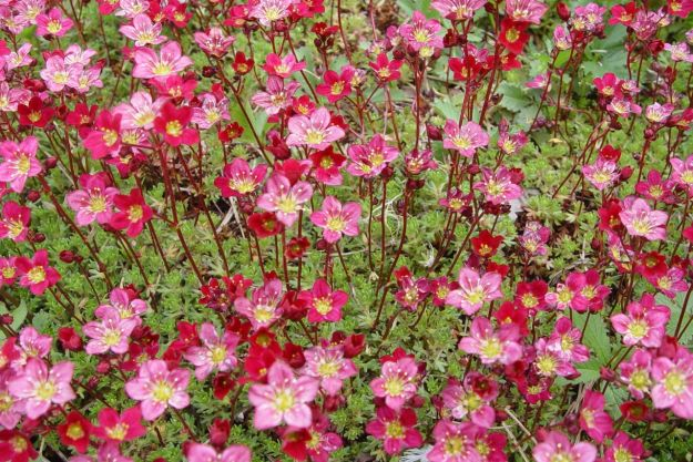 Saxifrage in the Festival Gardens.
