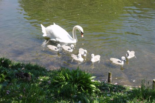 And the cygnets are fine too.