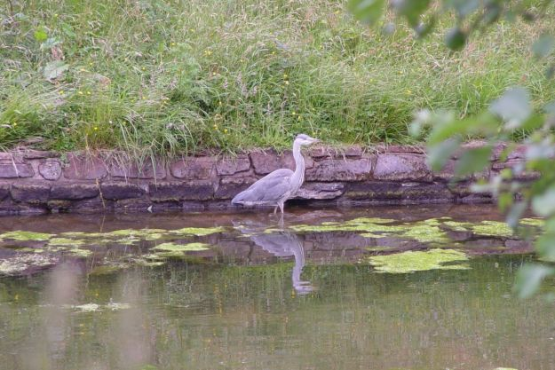 In the Upper Brook the heron stands rigidly still.
