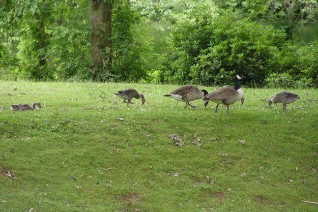 A pair of Canada Geese with their four goslings.