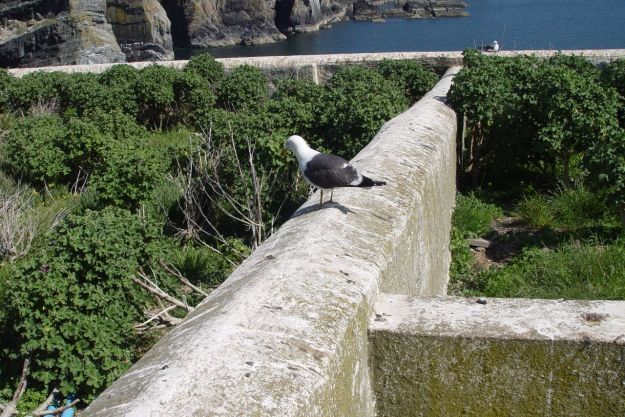 They would grow some of their own food in the walled plots now colonised by gulls.