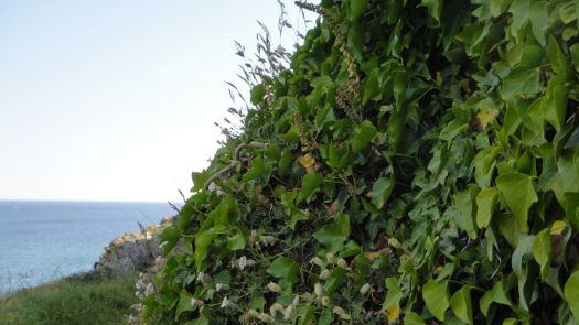 Along the cliff path, the rocks are full of plants...