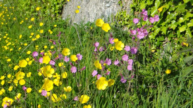 red campion and buttercup