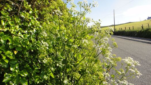 Frothy heads of the umbellifer... cow parsley