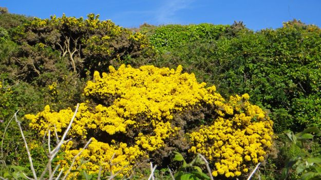 And on the hillsides the gorse is abundantly flowering