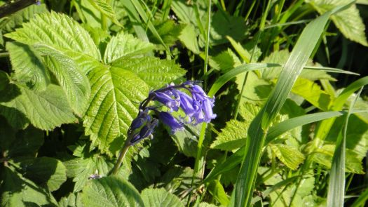 If you look closely you can see that the last bluebells are still here..