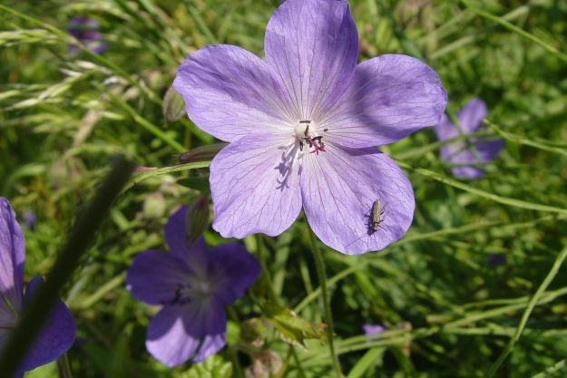 Johnson's Blue, Geranium.