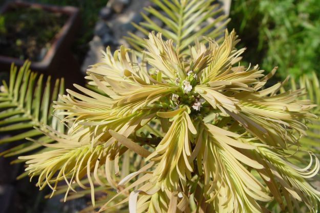 Vigorous new growth on the Wollemi Pine, now settled in its new home.