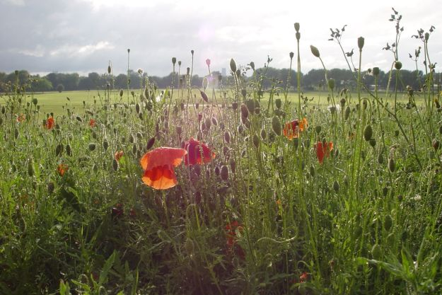 Poppies in evening sunlight, after rain.