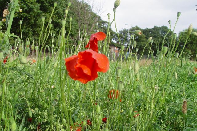 But plenty more poppy buds to open over the next few days.