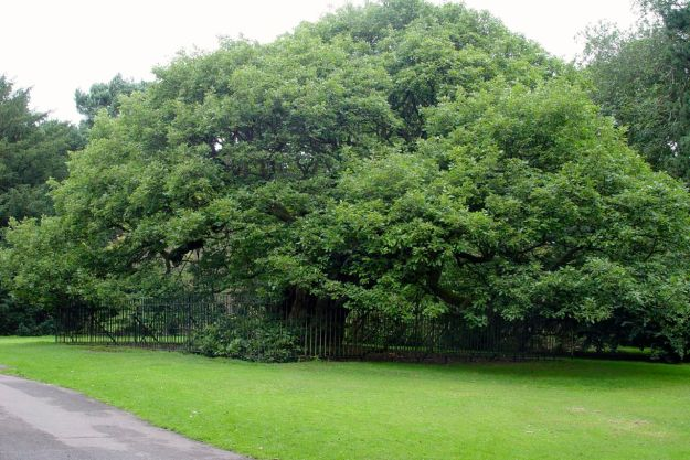 In the park, outside the garden you'll find the Allerton Oak itself.