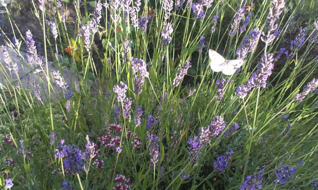 With Butterflies in the Lavender.