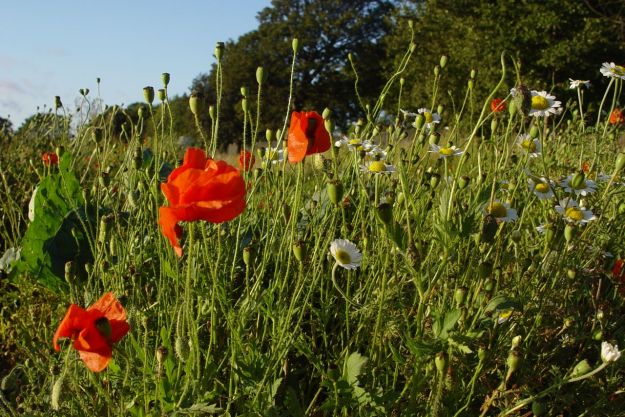 Poppies beginning to close up for the night.