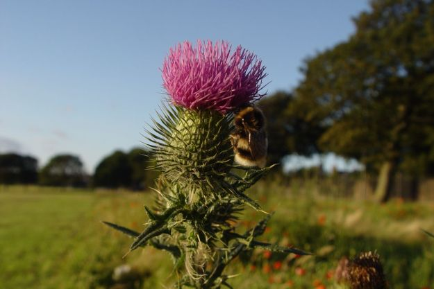 A bee almost asleep on this thistle.