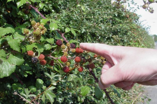 Sarah helpfully points out the blackberries on the brambles.