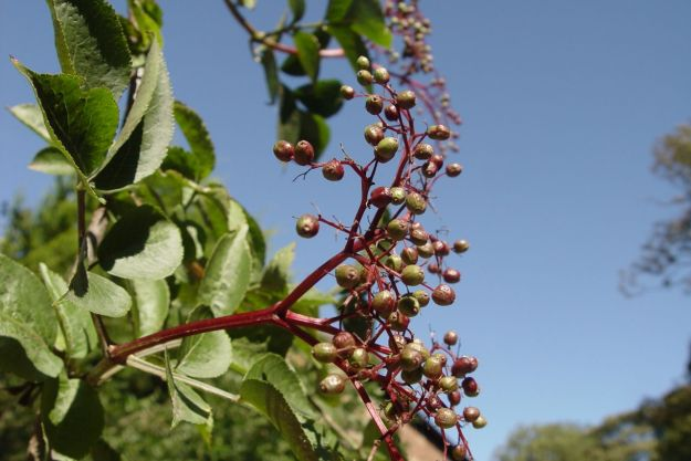 Elderberry.
