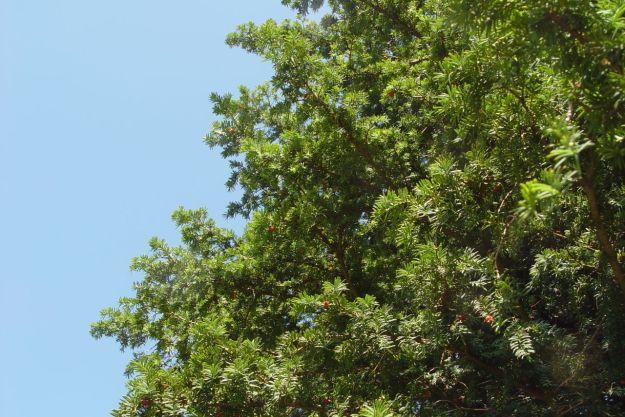 A female yew, full of berries.