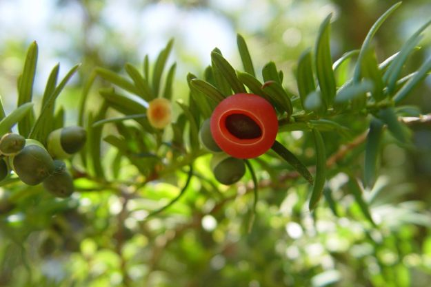 All parts of the yew are poisonous to us and other creatures, except the berries.