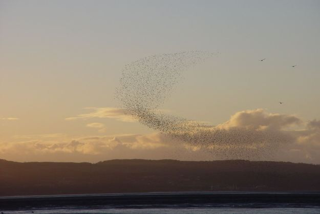 A murmuration of starlings, above the Shining Shore at Thurstaston