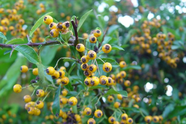 Pyracanthus, Firethorn.