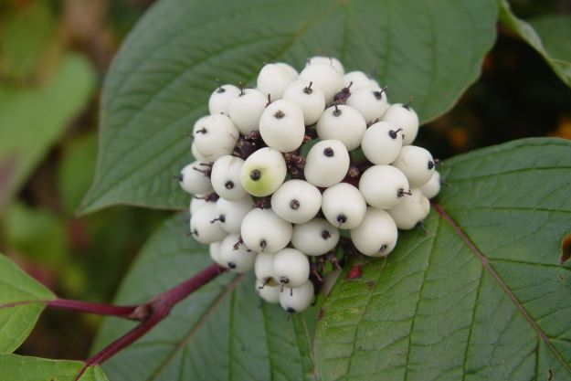 Berries on the Dogwood.