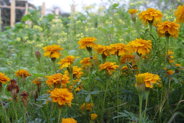 Marigolds, with Mustard behind.