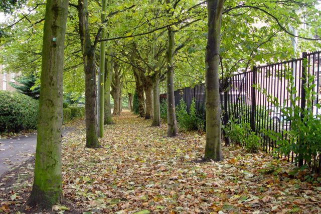 A carpet of autumn leaves along Ullet Walk.
